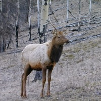 Canadian Reindeer Look-Alikes:  Elk, Caribou and Mule Deer