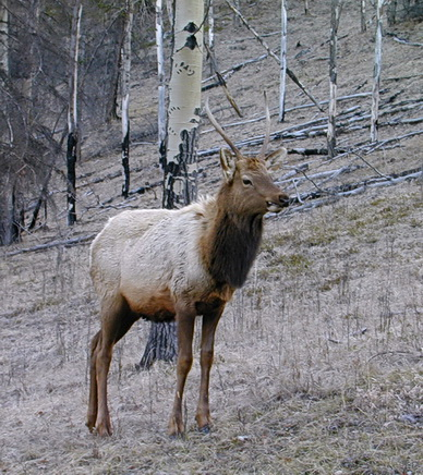 Male elk, probaby a teenager. Along Bow Valley Parkway, Banff National Park. Alberta 2001. Photo by HJEH Becker