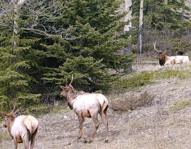 Small crowd of hungry elk feeding by Bow Valley Parkway. Banff National Park, Alberta March 2001. Photo by HJEH Becker
