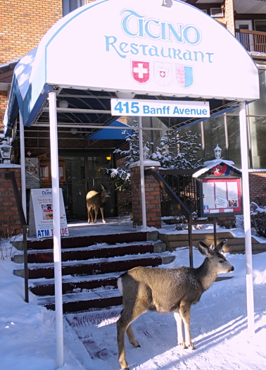 Pair of young wild mule deer checking out a local Swiss-Italian restaurant. Banff, Alberta Jan. 2011. Photo by HJEH Becker